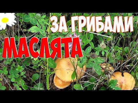 За грибами.Грибы Сибири. Сбор маслят. For mushrooms. Siberia. Collecting oil.