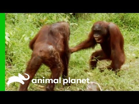 Orangutans Fight For Dominance While Leader Hamlet Is Trapped | Orangutan Island