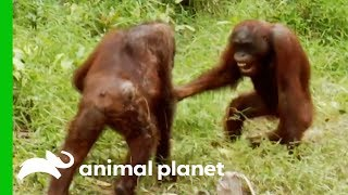 Orangutans Fight For Dominance While Leader Hamlet Is Trapped | Orangutan Island