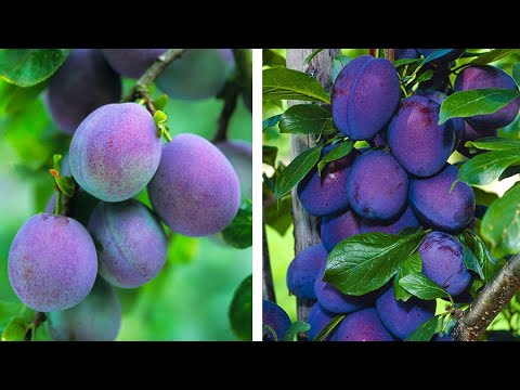 How To Plant Plums: Easy Fruit Growing Guide