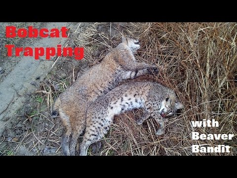 Bobcat trapping sets (2 catches) - YouTube