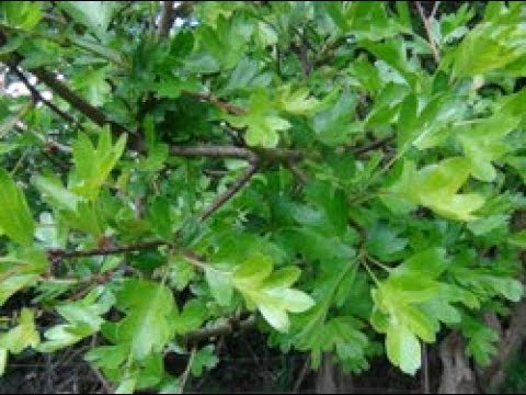 Hawthorn, the bread and cheese plant. Maythorn, Whitethorn