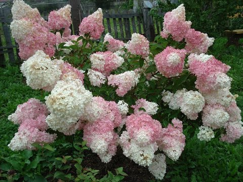 Цветы на дачном участке видеоиз YouTube · С высокой четкостью · Длительность: 4 мин49 с  · Просмотров: 868 · отправлено: 16.08.2015 · кем отправлено: Цветы в моем саду #1