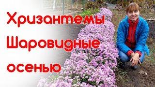Хризантемы шаровидные (мультифлора) осень 2017