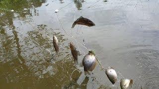 Lên vườn giăng lưới cá sặc, giăng xong gỡ cá liền đả tay  | Săn bắt SÓC TRĂNG |