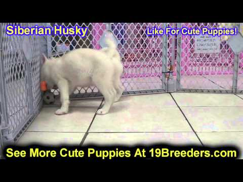 Siberian Husky, Puppies, For, Sale, In, Philadelphia, Pennsylvania, PA, Borough, State, Erie, York