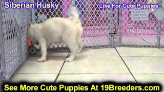 Siberian Husky, Puppies, For, Sale, In, Philadelphia, Pennsylvania, Pa, Borough, State, Erie, York