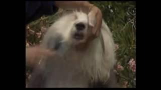 Как проводить УХОД за шерстью собак на примере #бобтейл Подготовка к ВЫСТАВКЕ СОБАК!