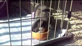 チワワ&ミニピンのmix犬「ナッツ」君の食への執着心が現れている動画で...