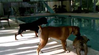 Rottweiler And Boerboel Playing By The Pool