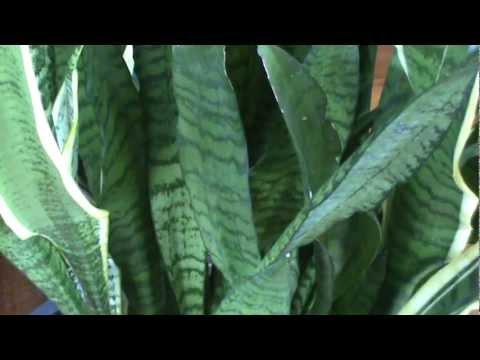 Decoraci n con plantas espada de san jorge youtube - Plantas para estanques de jardin ...