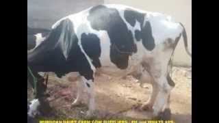 HF,JERSEY COWS FOR SALE IN KERALA - WWW.MURUGANDAIRYFARM.COM