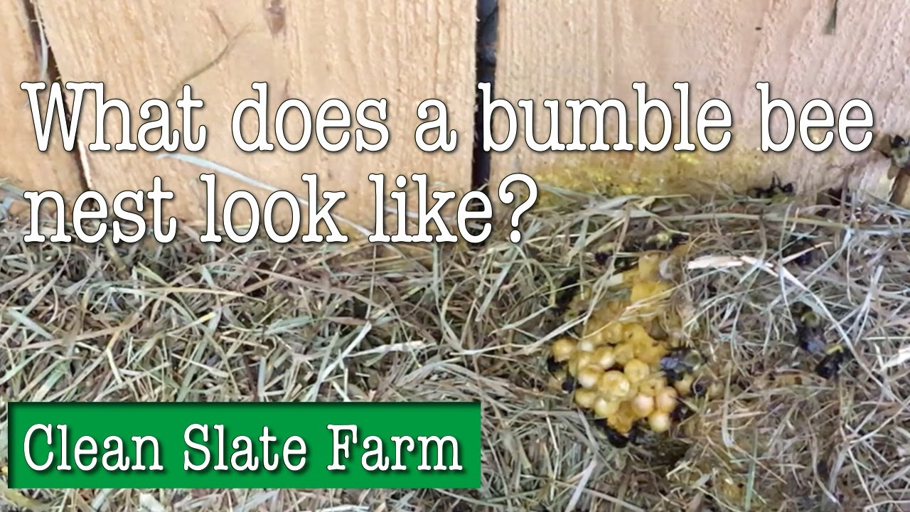 What Does A Bumble Bee Nest Look Like Youtube