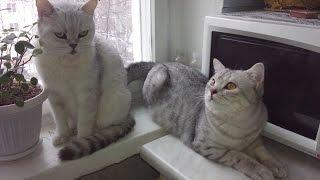 Шотландские Кошки. Кот хочет!Игры!