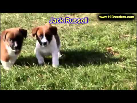 Jack Russell, Puppies, For, Sale, In, Columbia, Maryland, MD, Perry Hall, Pikesville, College Park,