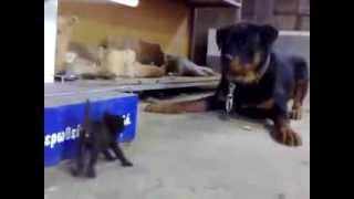 Самый храбрый котёнок в мире - Bravest kitten in the world