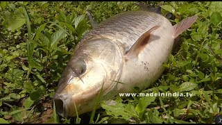 Never Seen Before? #50 Kg's Live Bengal Carp Fish Catching and Cutting   Amazing Fish Catcing