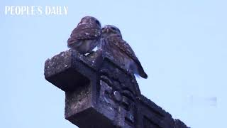 A pair of pallid scops owls showed their affection to each other in E China's Jiangsu