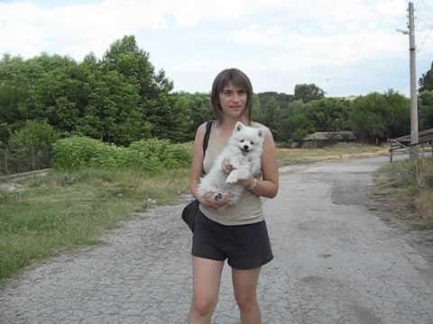 Deutscher Spitz ,  2 Monate , Hundewelpe
