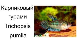 Карликовый гурами (Trichopsis pumila)