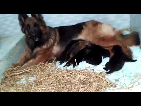 German Shepherd Puppy Single Coat Pedigree Litre For Sale