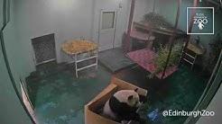 Yang Guang vs Box - RZSS Edinburgh Zoo