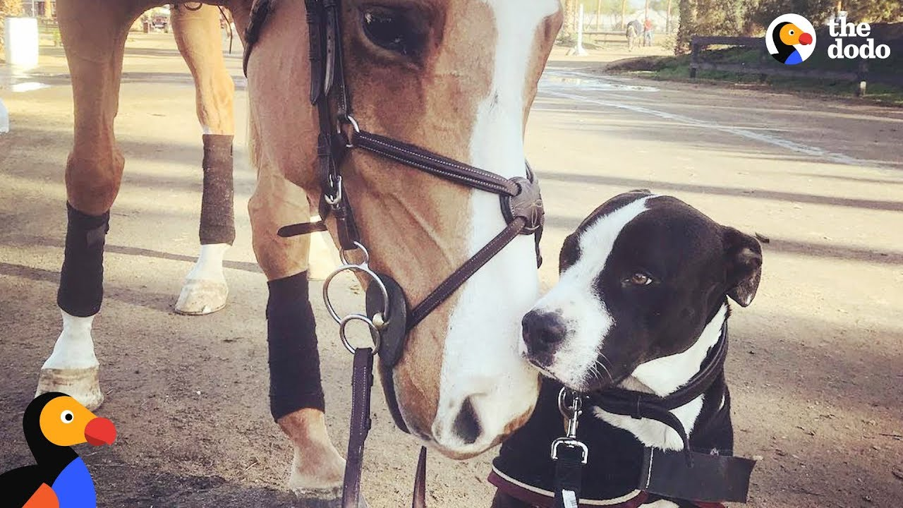 Animal Odd Couples Youtube dog thinks he's actually a horse | the dodo odd couples