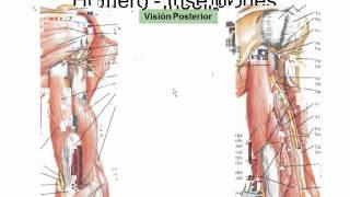 Drenaje venoso del miembro superior anatomía