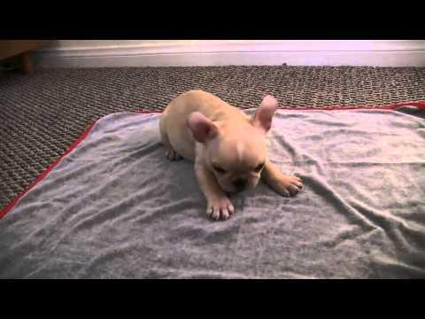 Dog Tales: French Bulldog Puppy Tricks 12 wks old Brody Brixton