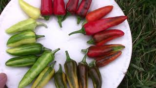 Fish Peppers From Seedling to Harvest - An Heirloom Edible Ornamental