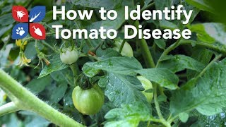 Do My Own Gardening - How to Identify Tomato Disease Problems