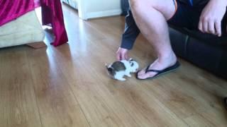 Wally 8 Week Old Chihuahua X Miniature Dachshund