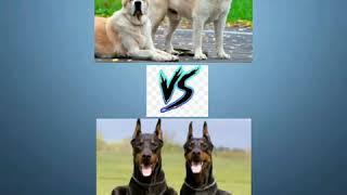 Среднеазиатская овчарка (Алабай) vs Добермана!