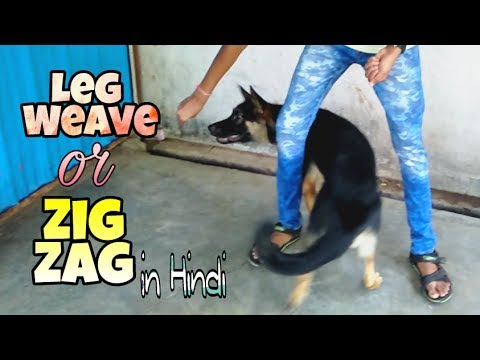 How to train a dog leg weave or Zig zag command in Hindi | Dogs training in hindi |