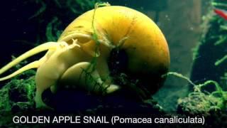 ジャンボタニシがうごめく!アクアリウムの苔対策に、スクミリンゴガイ別名ゴールデンアップルスネイル