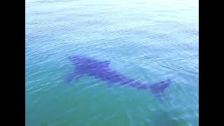 Great white sharks filmed stalking paddleboarders just off US coast - Today News