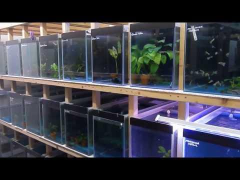 Guppy Farm UK.      A Walk Through The Fish Room