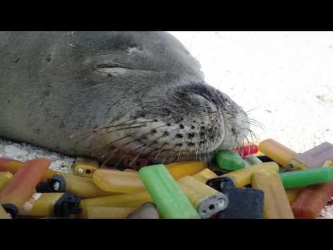Species In The Spotlight: Hawaiian Monk Seal
