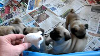 Pug Puppy Playtime!