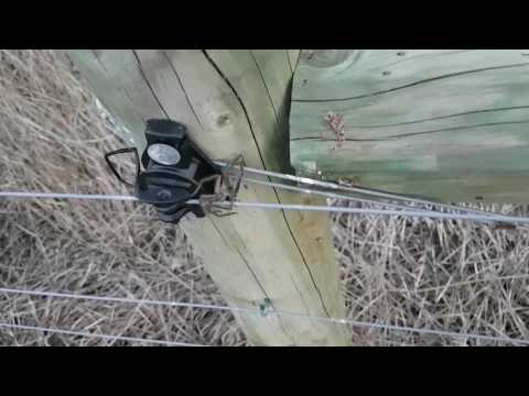Huntsman Spider electrocuted on electric fence