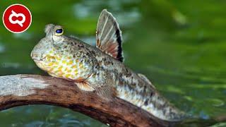 Bisa Hidup Tanpa Air..? 10 Ikan Ajaib ini Bisa Berjalan Dan Hidup Di Darat
