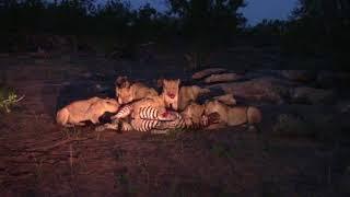 Lions killing a zebra - not for sensitive viewers
