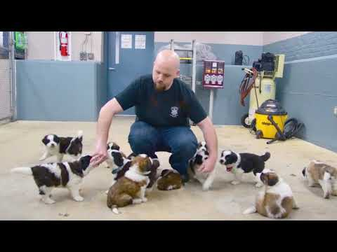 Douglas Rescued St. Bernard Puppies