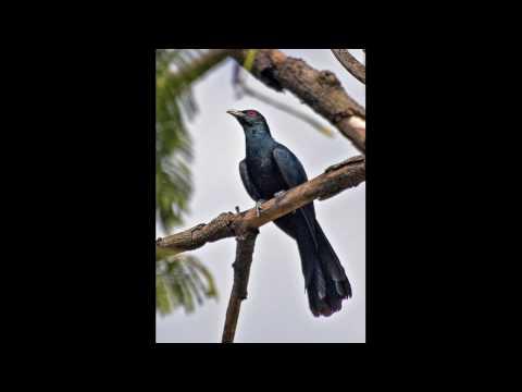 Sound of the Koyal Bird