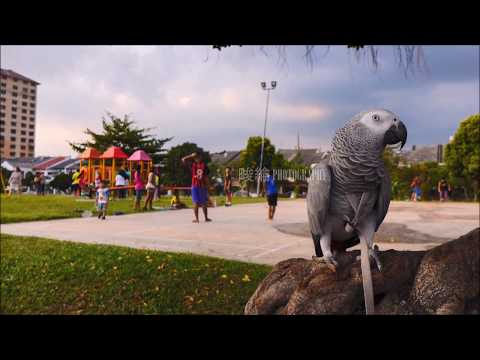 African grey flight and recall training.