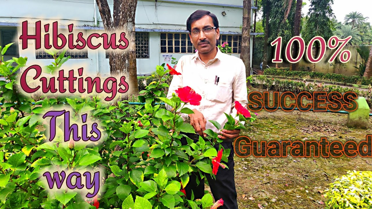 Grow Hibiscus Cuttings This Way With 100 Success Guranteed