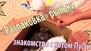 Знакомство кота с рысью