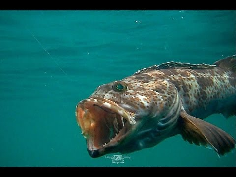 """Light Tackle Lingcod Fishing At The Farralon Islands"""