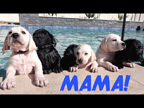 LABRADOR MOM TEACHES HER PUPPIES TO SWIM!