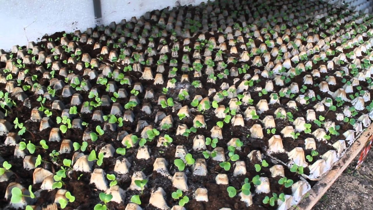 Как сажать семена редиски правильно 88